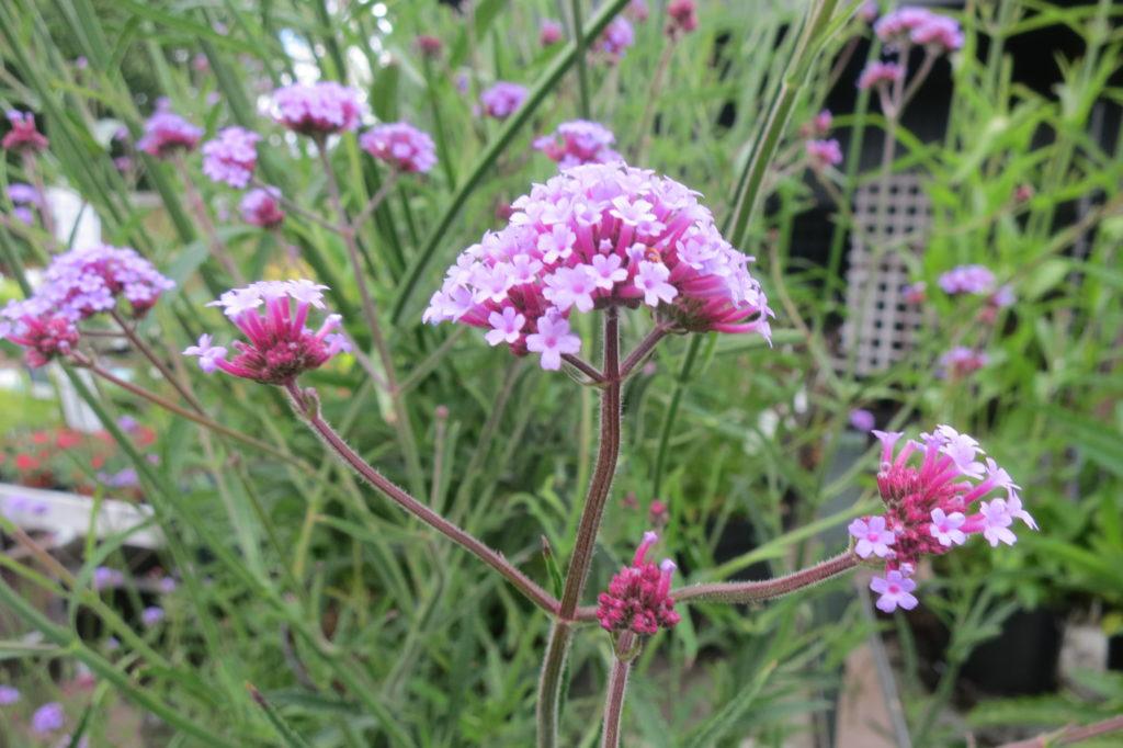Jätteverbena, Verbena bonariensis, en ständig favorit med sina vackra och särgena blomställningar
